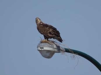 Juvenile Bald Eagle - practice nest (1)