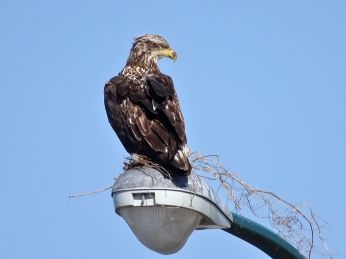 Juvenile Bald Eagle - practice nest (2)