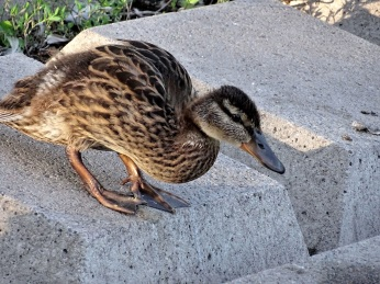 Older Mallard Ducklings (1)