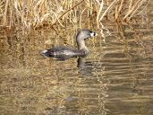 Pied-billed Grebe (2)