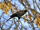 Red-winged Blackbird (3)