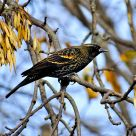 Red-winged Blackbird (3)