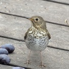 Swainson's Thrush with grapes on deck