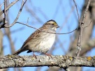 White-throated Sparrow (2)