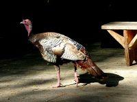 Wild Turkey (2)