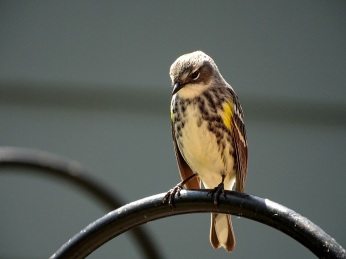 Yellow-rumped Warbler on feeder pole