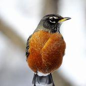 American Robin (6)