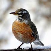 American Robin (7)