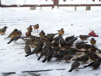 American Robins - overwintering flock (1)