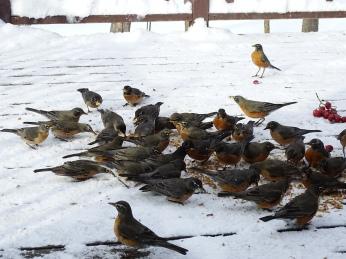 American Robins - overwintering flock (2)