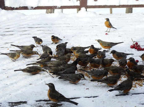 American Robins - overwintering flock (2)