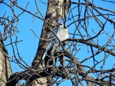 Blue Jay (3)