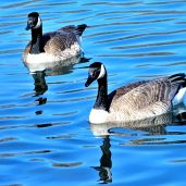 Canada Geese (1)