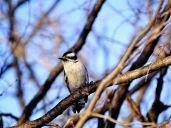 Downy Woodpecker (1)