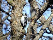 Downy Woodpecker (2)