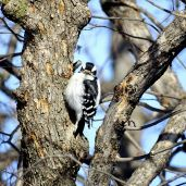 Downy Woodpecker (2)