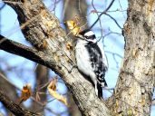 Downy Woodpecker (3)
