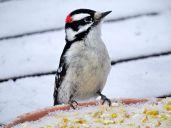 Downy Woodpecker (4)