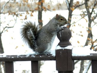 Eastern Gray Squirrel (1)