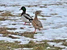 Mallards in snow