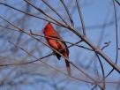 Northern Cardinal (1)