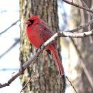 Northern Cardinal (2)