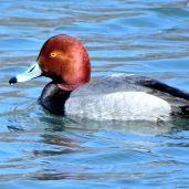 Redhead (1)