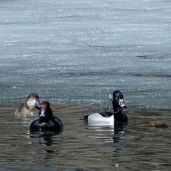 Redheads and Ring-necked Duck