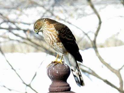 Sharp-shinned Hawk (1)