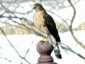 Sharp-shinned Hawk (2)