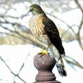 Sharp-shinned Hawk (2)