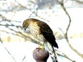 Sharp-shinned Hawk (3)