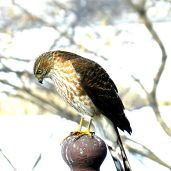 Sharp-shinned Hawk (3)