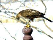 Sharp-shinned Hawk (4)
