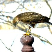 Sharp-shinned Hawk (4)