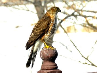 Sharp-shinned Hawk (5)