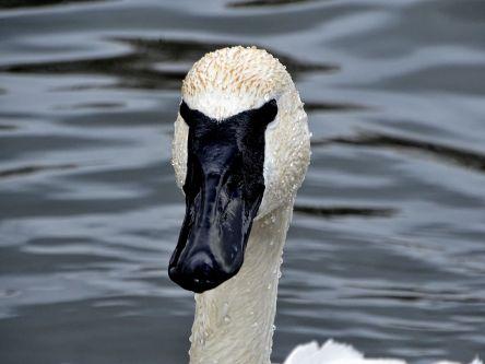 Trumpeter Swan (1)