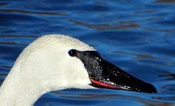 Trumpeter Swan (2)