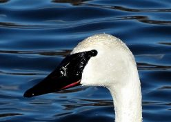 Trumpeter Swan (3)