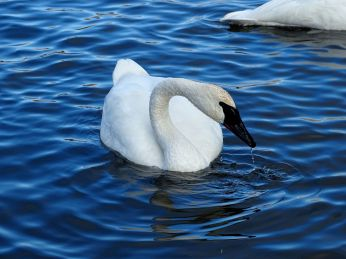 Trumpeter Swan (4)
