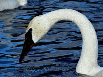 Trumpeter Swan (5)