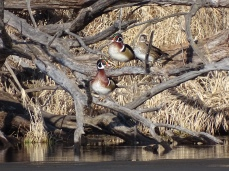 Wood Ducks (2)