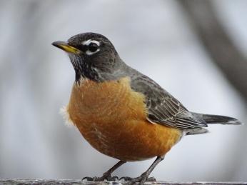 American Robin (1)