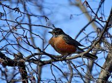 American Robin (3)