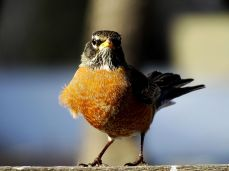 American Robin (4)