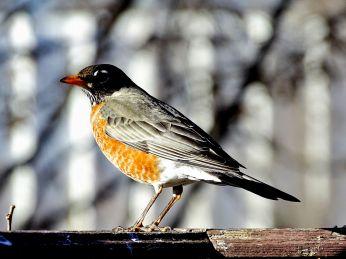 American Robin (5)