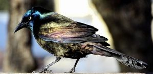 Common Grackle (1)
