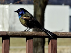 Common Grackle (3)