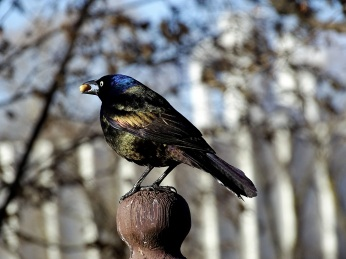 Common Grackle (4)