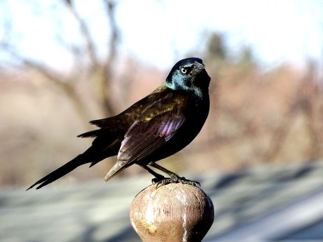 Common Grackle (6)